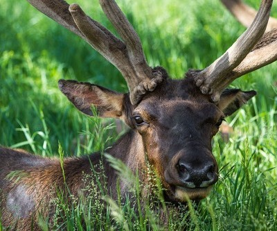What to Do (And Not Do) if You See Elk